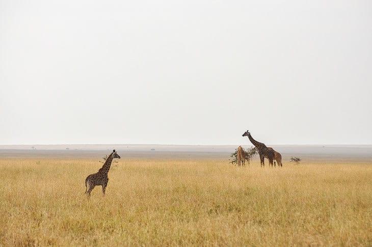 Giraffes grazing in Africa