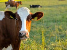 METHANE MADNESS: More cows, more farts, more GHG emissions
