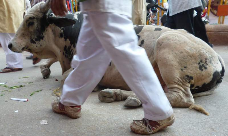 Cow on the streets in Varanasi