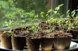seedlings - starting vegetables