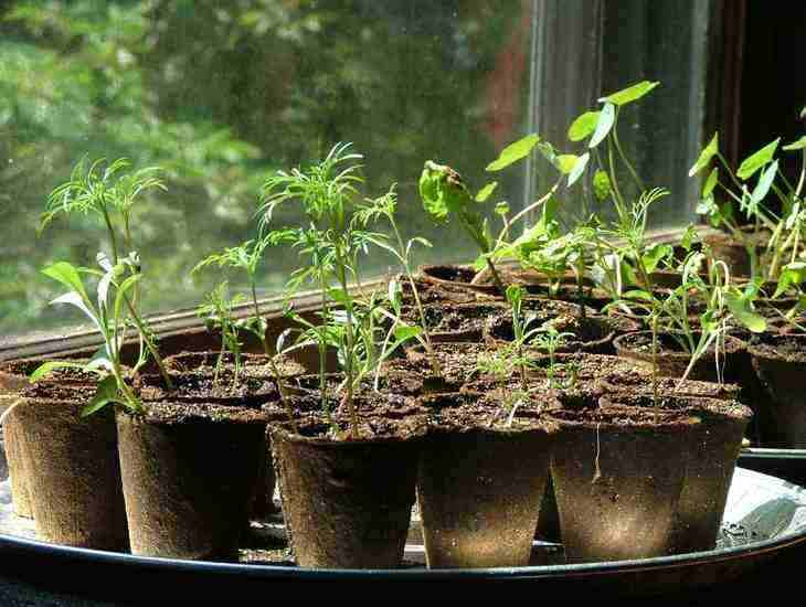 seedlings - starting vegetables
