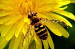 dandelion and bee - uses for dandelions