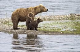 Mother bear and cubs - The Way of the Bear fiction