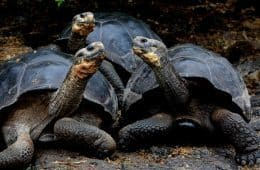 Three giant Galapagos Tortoises with necks extended