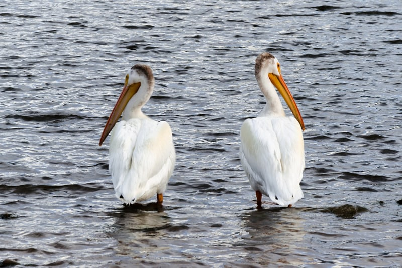 Two pelicans sitting next to each other with heads turned away