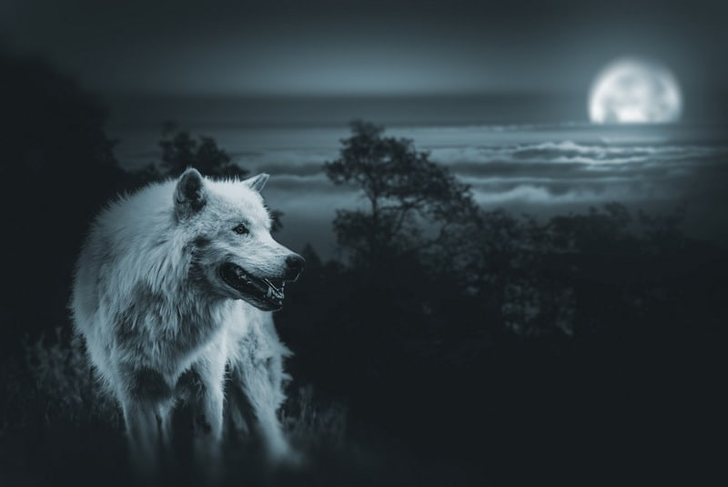 White male wolf at night