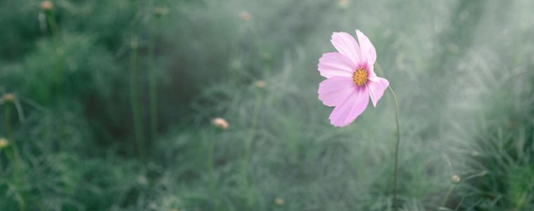 Pink cosmos in a field with ray of sunlight