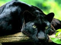 DREAM INTERPRETATION: A breakthrough with a very significant habit [symbol: panther]