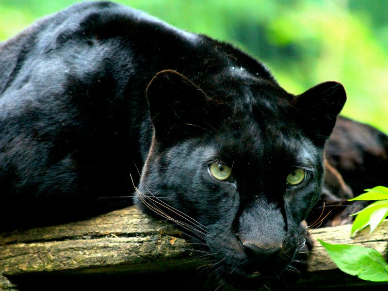 Black panther lying on a branch