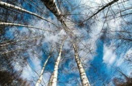Leafless birch trees against blue winter sky - Breathe better, live better