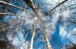 Leafless birch trees against blue winter sky - Breathe better, live better