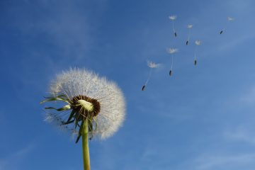 Dandelion flower - Peace is Every Step