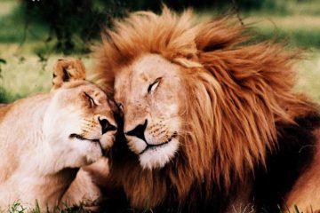 Two lions cuddling