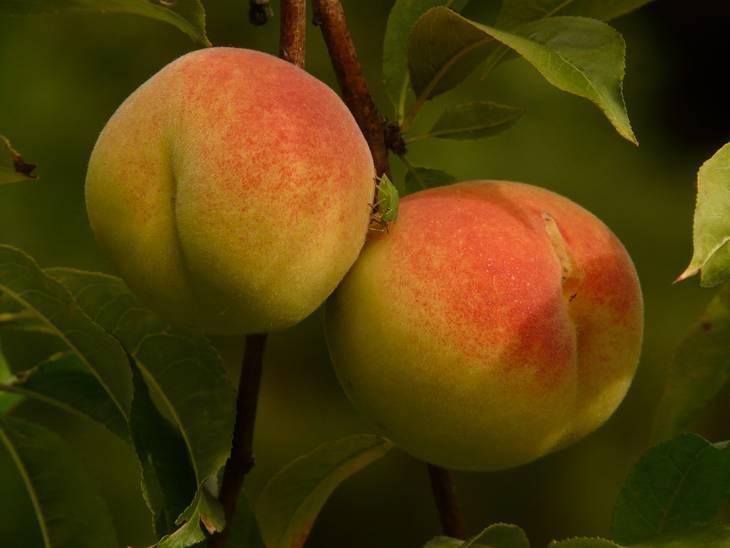 Peaches growing - Becoming a poet