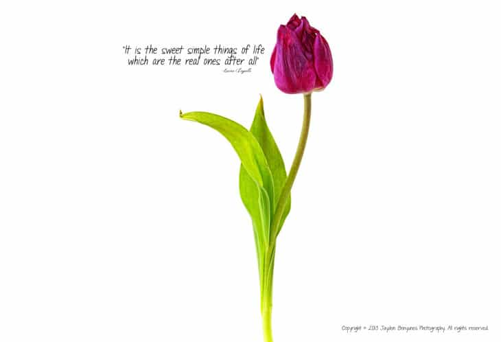 Tulip with quotation