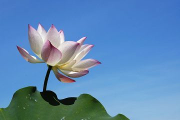 lotus flower in mud