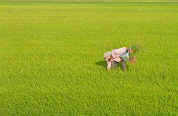 weeding farm field
