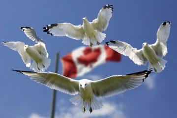 gulls formation through black-