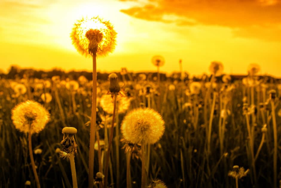 DANDY-LION PRIDE: The many medicinal properties of dandelion