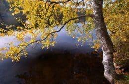birch tree - healing work