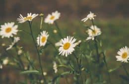 chamomile - nature's medicine