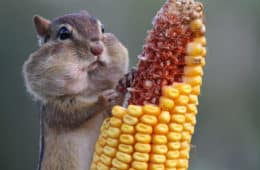 Mindful eating? Hungry squirrel eating corn