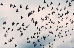 animal avian - flock of birds