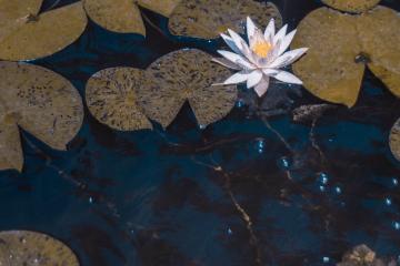 aquatic lotus - believe nothing
