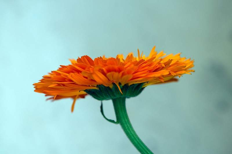 Calendula flower - Healing herbs recipe excerpts