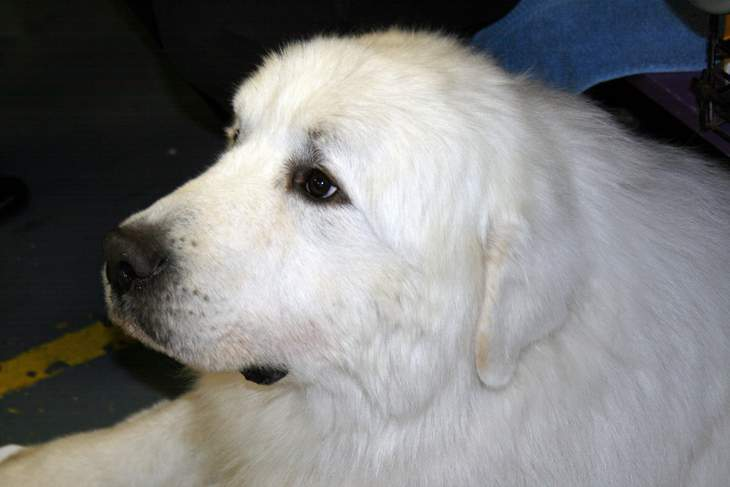 Pyrenees dog - Essay about aging