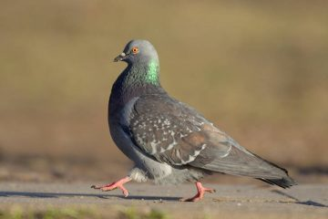 Pigeon walking - Joshua Bocher poetry