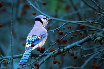 Bluejay on branch - Poems by Max Reif