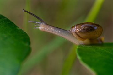 snail stretching between leaves