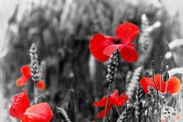 Remembrance Day poppies - History with a heart