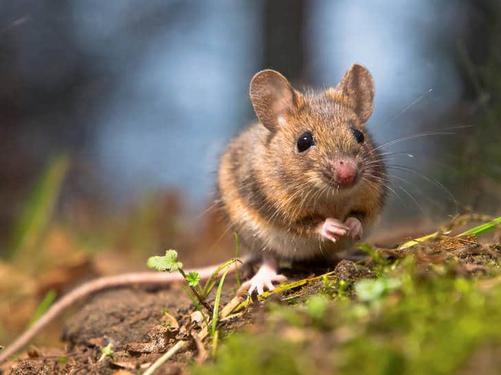 Brown mouse in grass and dirt - Fiction story mouse and dandelion