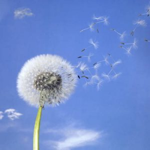 Dandelion scattering - Fiction story mouse and dandelion