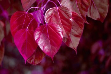 Purple Bodhi tree leaves - Poems by Sarah Escue