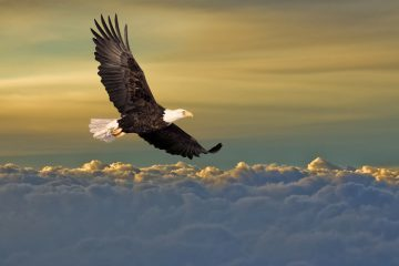 Bald eagle soaring above the clouds