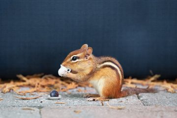 animal chipmunk - clever quotes