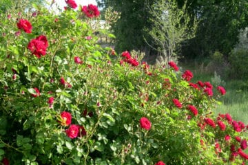 red roses in a garden