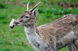 Deer chewing paper cup