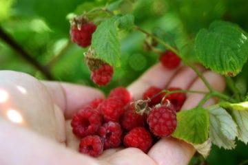 Hand holding raspberries from bush - My walk with God