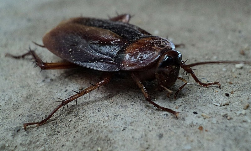 Large cockroach