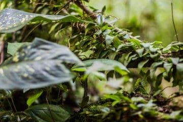 Ayahuasca vine - Listening to Ayahuasca book review