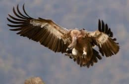 Flying vulture - Dream interpretation