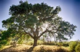 Big oak tree in sun - Go ask the oak tree