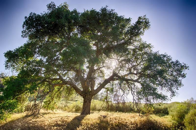 Big oak tree in sun - Go ask the oak tree