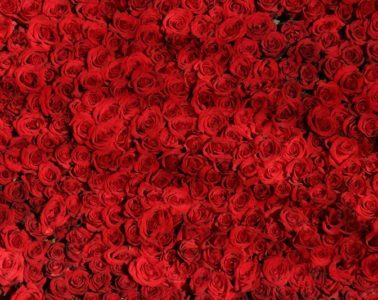 Solid wall of red roses