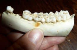 jaw bone with missing teeth
