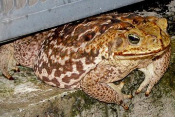 Toad crawling under door
